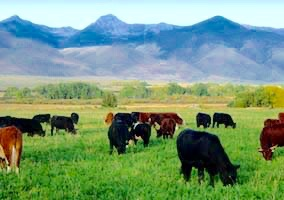 yearlings-on-alfalfa